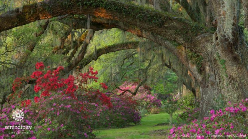 The azaleas at Magnolia Plantation and Gardens are spectacular!